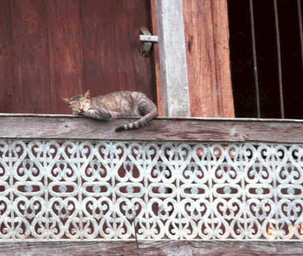 to Jpeg 41K One of the cats Nga Phe Kyaung monastery, Lake Inle, Shan State, Myanmar 9809Q11.JPG