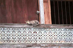 To Jpeg 41K cat at Nga Phe Kyaung monastery, Lake Inle, Shan State, Myanmar 9809Q11.JPG