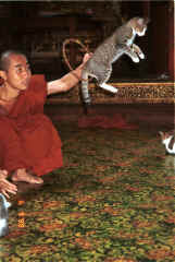 to Jpeg 39K A cat jumping through a hoop for one of the monks at Nga Phe Kyaung monastery, Lake Inle, Shan State, Myanmar 9809Q18.JPG