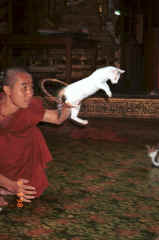 to Jpeg 26K A cat jumping through a hoop for one of the monks at Nga Phe Kyaung monastery, Lake Inle, Shan State, Myanmar 9809Q19.JPG