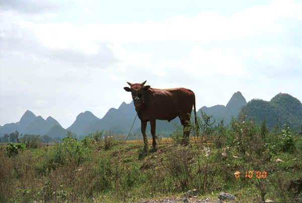 Countryside with bullock near Zuo Qi village, Min Gu township, Zhenfeng county, Guizhou province 0010p14.jpg