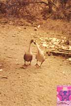 to ss22 Jpeg 52K Yes, I did photograph geese kissing