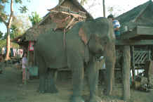 to Jpeg 29K  An elephant and his mahout at a Karen village at a Sgaw Karen village along the Mae Kok river between Tha Thon and Chiang Rai in northern Thailand 8812p03.jpg