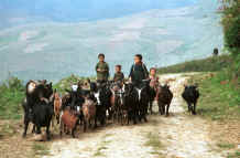 to Jpeg 32K Black Hmong children herding the goats in the hills around Sa Pa, Lao Cai Province 9510I35.JPG