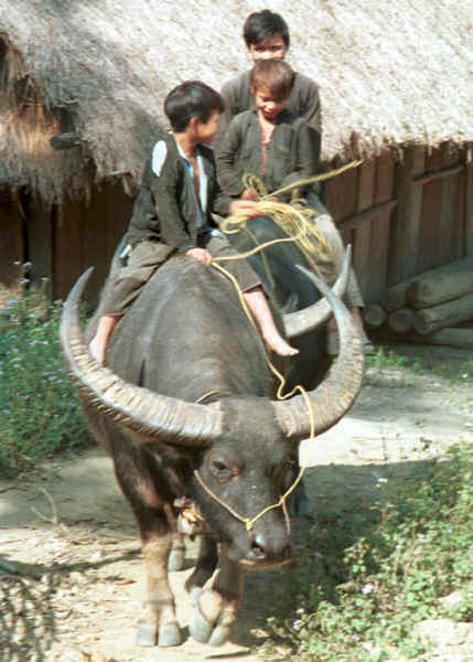 Red Hmong boys riding a buffalo out of the village in Lai Chau province, northern Vietnam 9510g04.jpg