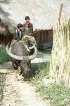 to Jpeg 36K Green Hmong boys riding a buffalo out of the village in Lai Chau province, northern Vietnam 9510g04.jpg